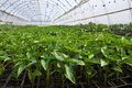 Greenhouses with polyethylene film_16 Royalty Free Stock Photo