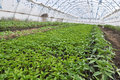 Greenhouses with polyethylene film_14 Royalty Free Stock Photo