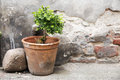 Greening in the backyard earthenware pot with a small boxwood i front of an old brick wall weathered plaster selective focus Stock Images