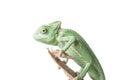 Greenish chameleon on branch isolated white background Stock Photography