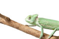 Greenish chameleon Royalty Free Stock Photo