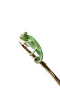 Greenish chameleon walking on a branch isolated white background Stock Photography