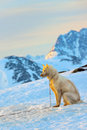 Greenland dog and sunset in spring time Royalty Free Stock Photos