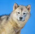 Greenland dog in winter time Stock Photo