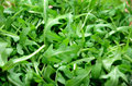 Greens Arugula Leaf On The Ful...