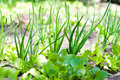 Greens on the Garden. Green Onion and Salad Lettuce in the garden. Royalty Free Stock Photo