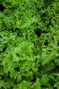 Greens lettuce is an plant family compositae Stock Image