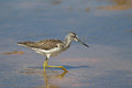 Greenshank wading in water tringa nebularia shallow Stock Photography