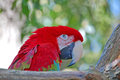 GreenWing Macaw with copy space Royalty Free Stock Photo