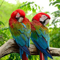 Greenwinged Macaw Royalty Free Stock Photo