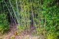 A greeny Bamboo Trees in AveryIsland, Louisiana Royalty Free Stock Photo