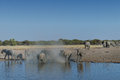Gregge dell elefante che arriva al waterhole nel parco nazionale di etosha namibia Fotografie Stock