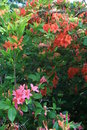 Gregory Bald flame azaleas Stock Photography