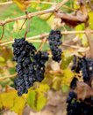 Grenache Grapes, McLaren Vale Stock Photography