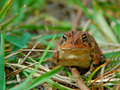 Grenouille dans l'herbe Photo stock