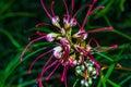 Grevillea Firesprite Decorative Flower Royalty Free Stock Photo