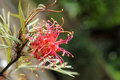 Grevillea olivacea Royalty Free Stock Photo