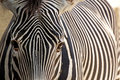 Grevy's Zebra Face Looking Forward Stock Image
