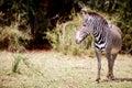 Grevy's zebra in Samburu Kenya Royalty Free Stock Photo