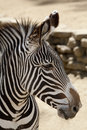 Grevy's Zebra Stock Photo