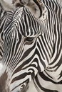 Grevy's Zebra Face Close Up Royalty Free Stock Photos