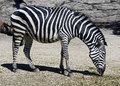 Grevy s zebra latin name equus grevyi Stock Photography