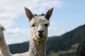 Grey alpaca cria with hairy face on farm Stock Photo