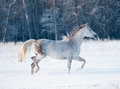 Grey arab mare runs free in winter the Royalty Free Stock Photography