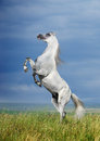 A grey arabian horse rearing Stock Photo