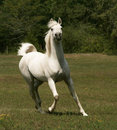 Grey Arabian Stallion Royalty Free Stock Photo