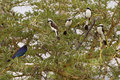 Grey backed fiscals splendid glossy starling on thorny acacia tree serengeti tanzania africa Royalty Free Stock Image