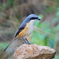 Grey backed shrike beautiful bird lanius tephronotus standing on the rock face and side profile Stock Photography
