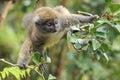 Grey bamboo lemur Royalty Free Stock Photo