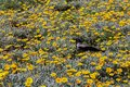 An amazing field of yellow flowers and a lovely raven