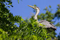 Grey blue heron ardea cinerea sitting on a tree Royalty Free Stock Photos
