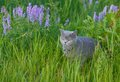 Grey british cat in the grass green Royalty Free Stock Photography