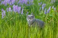 Grey british cat in the grass green Stock Photography