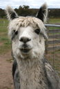 Grey and brown alpaca on farm in grampians area in victoria australia Stock Image