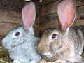 Grey and brown rabbits Royalty Free Stock Photo