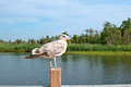 Grey brown seagull sitting near water Royalty Free Stock Image