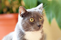 Grey cat. Royalty Free Stock Photography