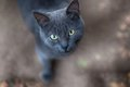 Grey cat closeup portrait Royalty Free Stock Photography