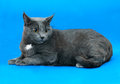 Grey cat female Royalty Free Stock Photo