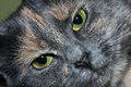 Grey cat green eyes close up Royalty-vrije Stock Foto