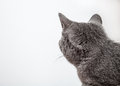 Grey cat looking back Royalty Free Stock Photo
