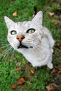 Grey cat looking upwards a close up of a sitting on grass and Royalty Free Stock Images