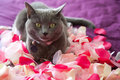 Grey cat lying on petals of roses. Royalty Free Stock Photo