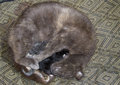 Grey cat nursing her newborn kittens Royalty Free Stock Photo