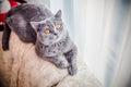 Grey Cat, Scottish, Yellow Eyes