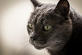 Grey cat young on smooth colored background Stock Images